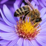 Eine Biene sitzt auf einer lila Blume