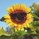 Eine Sonnenblume mit Sonnenbrille