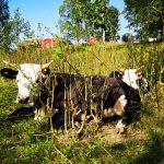 Eine Kuh liegt auf der Wiese.