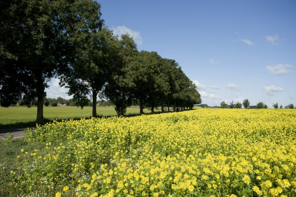 gelbes Rapsfeld neben einer Allee